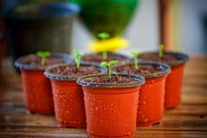 PlantTomates